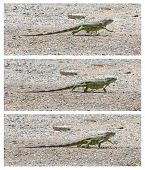 Green Iguana (iguana Iguana) Walking