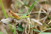 The Mottled Grasshopper (Myrmeleotettix maculatus)