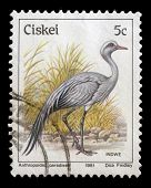 CISKEI - CIRCA 1981: A stamp series printed in Ciskei shows Blue Crane (Anthropoides paradiseus), ci