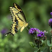 stock photo of wildflowers  - Yellow swallowtail butterfly sampling purple summer wildflowers in a Texas garden - JPG