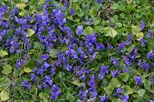 Violet flowers flowerbed in wild meadow
