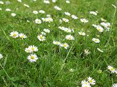 picture of angiosperms  - Common daisy Bellis Perennis Plantae Angiosperms Eudicots Asterids Asterales Asteraceae - JPG