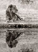 Lion Relaxing At The Waters Edge