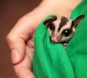 Little Sugar Glider (petaurus Breviceps) Sleeps In Green Vets Uniform