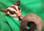 The Sugar Glider (petaurus Breviceps) On Green Fabric. Small, Omnivorous, Arboreal Gliding Possum