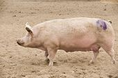 foto of farrow  - Large white pig in sandy soil enclosure - JPG