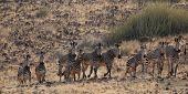 Mountain Zebras (equus Zebra Hartmannae)