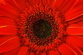 Red Gerbera Daisy, Close Up