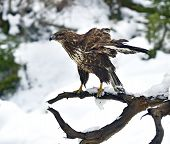 foto of buzzard  - Common Buzzard  - JPG