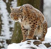 Winter Lynx