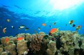 stock photo of damselfish  - Hard Corals and Lyretail Anthias and Damselfishes - JPG