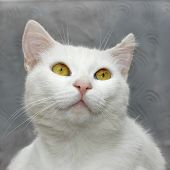 stock photo of full cheeks  - Portrait of a white cute domestic cat close up on a background of gray wall - JPG