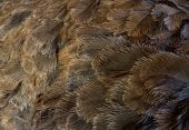 picture of ostrich plumage  - A Gray ostrich plumage photographed close up - JPG