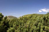 Dwarf Pines