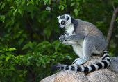 Ring tailed lemur (Lemur Catta) in a forest. Madagascar