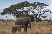 African Bush Elephant With Suckling Calf