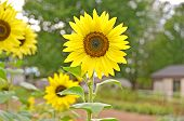 bright sunflower in garden