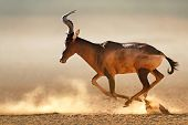 Red hartebeest running in dust - Alcelaphus caama -  Kalahari desert -  South Africa