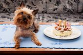 Yorkshire Terrier Birthdays