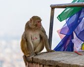 A female macaque on top of wall in Swayambhunath, Kathmandu, Nepal