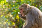 Macaque monkey eating an orange in Kathmandu, Nepal