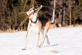 stock photo of greyhounds  - Mutt of greyhound and german shepherd with stick on snow - JPG