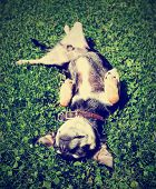 a chihuahua rolling in the grass done with a vintage retro instagram filter