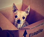 a tiny chihuahua in a box marked fragile done with a vintage retro instagram filter