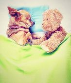a cute chihuahua sleeping next to a teddy bear done with a vintage retro instagram filter