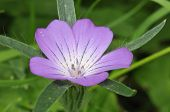 stock photo of rare flowers  - Corncockle - Agrostemma githago