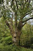 The Knightwood Oak