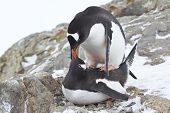 Male And Female Gentoo Penguins Copulate Near The Nest