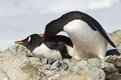 Two Gentoo Penguins Are Fighting Near The Nest