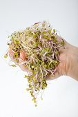 picture of alfalfa  - Fresh alfalfa sprouts isolated on white background - JPG