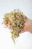 image of alfalfa  - Fresh alfalfa sprouts isolated on white background - JPG