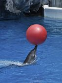picture of grampus  - A Dophin Play Red Ball In The Water - JPG