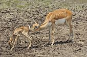 Whitetail Doe Take Care Of Its Fawn