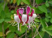 image of honeysuckle  - Common honeysuckle with blooms in detail and leaves