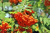 pic of rowan berry  - Rowan berries Mountain ash  - JPG