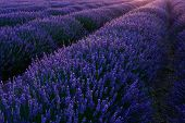 picture of lavender field  - Stunning landscape with lavender field at evening. Plateau of Valensole Provence France