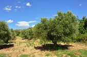 Provence. Olive Tree