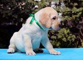 Happy Yellow Labrador Puppy Portrait