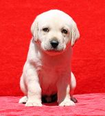 Nice Yellow Labrador Puppy Portrait On Red