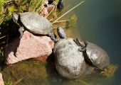 Three Terrapin