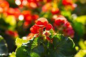 pic of begonias  - Beautiful red begonias flower in the garden - JPG