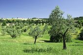 Olive Trees In Italy