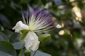 Caper flower (Capparis spinosa) bloomed out