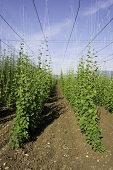 Hop crop and the blue sky