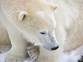 foto of polar bears  - Close - JPG