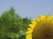 Corner Sunflower